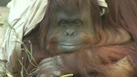 Argentine court weighs whether an orangutan deemed a 'non-human person' can be moved to a sanctuary