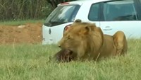 Lion mauls American tourist to death in South African park