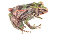 New shape-changing frog species named 'Pristimantis Mutabilis'