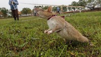 Cambodia uses 'life-saving' rats to sniff out deadly landmines