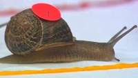 Snails slug it out in world racing championship