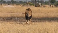 U.S. man accused of killing famous African lion