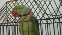 Parrot accused of foul talk