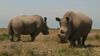 Kenya conservancy hopes IVF can save white rhino