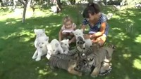 White lion and Siberian tiger cubs play with visitors in Crimea safari park