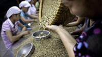 Workers sort through green robusta coffee beans for defects that cannot be removed mechanically, at the Highlands Coffee processing plant in Ho Chi Minh City, Vietnam. Photo: Bloomberg/Jeff Holt