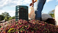 Workers dump harvested coffee cherries in a truck at a plantation in the Minas Gerais state near Guaxupe, Brazil. Photographer: Patricia Monteiro/Bloomberg