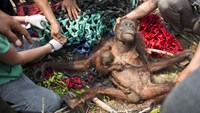Plight of the orangutan