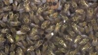 Caffeine exposure leaves bees buzzing