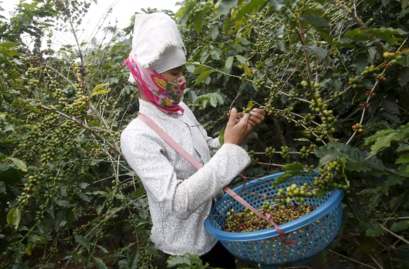 A woman harvests coffee at a farm in Son La, northwest of Hanoi, Vietnam in this October 13, 2015. Photo: Reuters/Kham