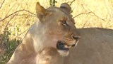 U.S. wildlife agency gives legal protection to African lions