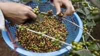 A woman of Thai ethnic tribe harvests coffee at a farm October 13 in Son La, northwest of Hanoi, Vietnam. REUTERS/Kham