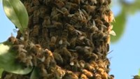 Bees join mourners at Muhammad Ali center
