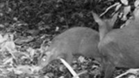 Deer supposedly extinct 85 years ago discovered in Vietnam