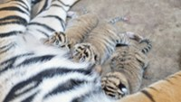 Another endangered tiger delivers cubs at Vietnam zoo