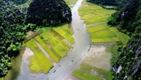 Blooming yellow rice fields draw tourists to 'the inland Ha Long Bay'
