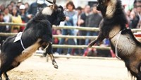 This goat fight in Vietnam would make Darwin proud