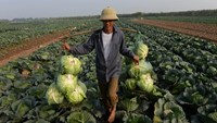 A farmer carries harvested cabbage in a field at the Dang Xa commune on the outskirts of Hanoi. Photo: AFP