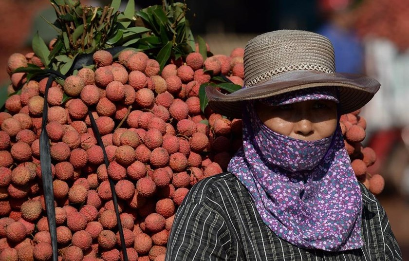 A farmer waits to sell her lychee fruit she transported on the back of a motorbike from her family garden to traders at the market in Luc Ngan district, in Vietnam's northern province of Bac Giang. Photo: AFP