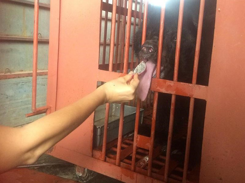 A moon bear which is the last of 33 bears rescued by Animals Asia from bile farms in the northern province of Quang Ninh. Photo credit: Animals Asia