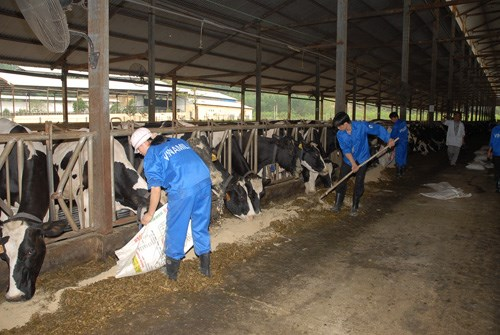 Vietnam has focused on raising more dairy cows to boost domestic production. Photo: Q.T