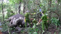 Police are investigating the cause of death of a female elephant in the Central Highlands province of Dak Lak. Photo credit: VietNamNet
