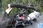 Woman killed by falling tree in HCMC