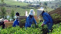 Workers harvest tea in Lam Dong Province. Photo credit: Lam Dong newspaper