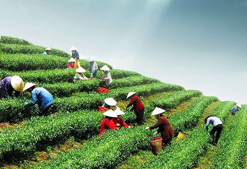 Workers harvest tea in Cau Dat, Lam Dong Province. Photo: Lam Vien