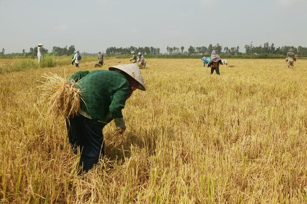 Farm hands harvest rice outside the Mekong Delta city of Can Tho. Photo credit: Bloomberg