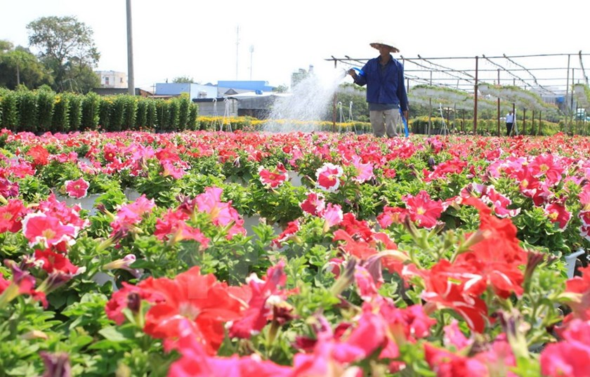 A farmer waters a flower garden in preparation for Tet celebrations in Go Vap District, Ho Chi Minh City. Photos: Vietnam Plus