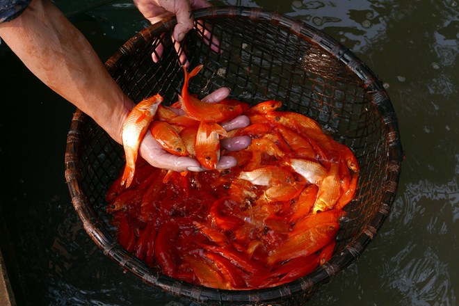 It is said that the Kitchen Gods will ascend to heaven by carp on the 23rd day of lunar December to report to the Jade Emperor on the family's activities in the past year. Photo credit: VnExpress