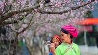A woman carrying her son on her back walks through a road lined with peach blossoms in Sung La Commune, Dong Van District, Ha Giang Province. Photo: Huong Giang