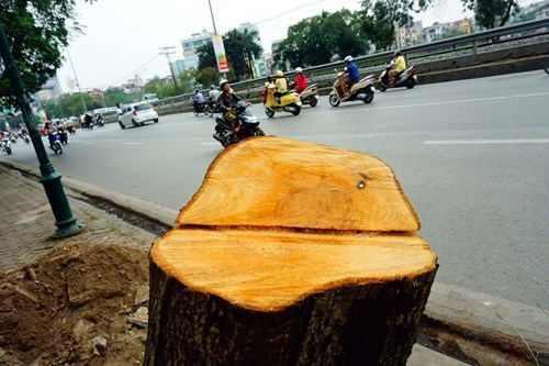 A tree felled on Hanoi's Le Duan Street. Photo: Ngoc Thang