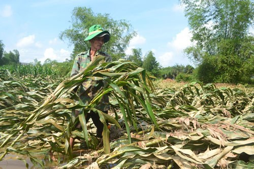 A farmer in the central province of Quang Ngai visits his corn field which was damaged by recent heavy rains. Photo: Hien Cu