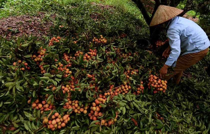 A farmer arranges lychees picked from a garden in Thanh Ha District, northern province of Hai Duong on June 7, 2015. Photo: AFP