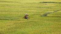 Farmers harvest rice at a paddy field in Ninh Binh province, south of Hanoi, on May 13, 2015. Photo: Reuters