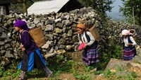 H'mong women carry baskets loaded with organic fertilizer to a field in Meo Vac District in the northern province of Ha Giang on April 3, 2015. Photo: AFP