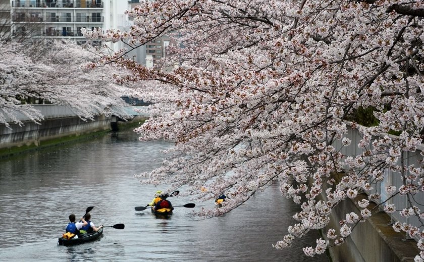 People row canoes past cherry blossoms trees in full bloom in Tokyo, Japan on March 29, 2015. Photo: AFP