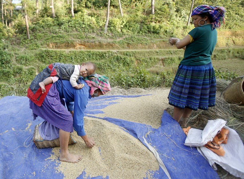 A Vietnamese woman of H'mong ethnic tribe carries her daughter while drying rice during the harvest season in Mu Cang Chai, northwest of Hanoi on October 3, 2015. Photo: Kham/Reuters
