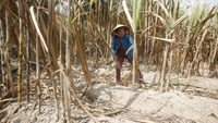 A farmer harvests dried sugarcane on her drought-stricken farm in the Mekong Delta province of Soc Trang on March 31, 2016. Photo credit: Kham/Reuters