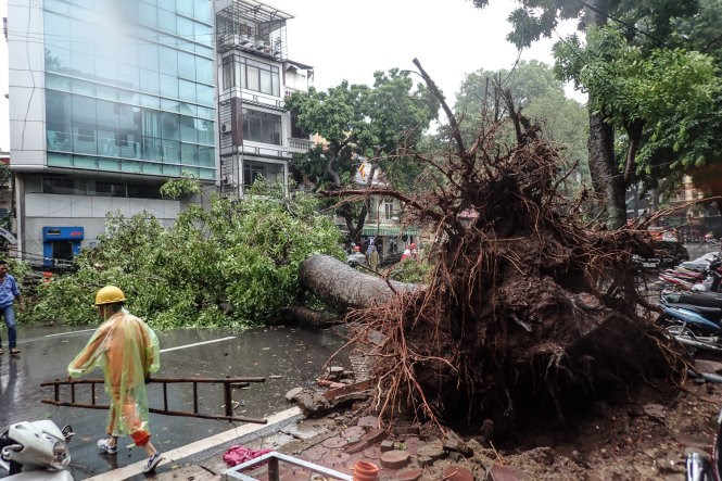 A tree is uprooted as tropical storm Dianmu hits Hanoi on August 19, 2016. Photo credit: Nguyen Khanh/Tuoi Tre