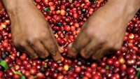 Vietnam coffee production hit by extreme weather