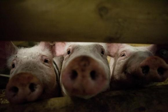 Pigs stick their noses through a gate.