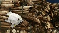 African elephants at risk, record ivory seizures: CITES