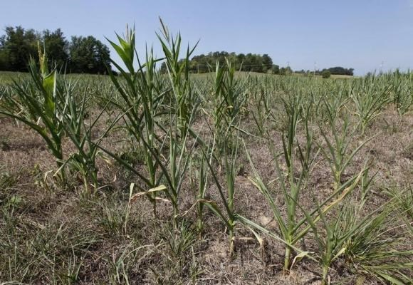 Corn plants struggle to survive in drought-stricken farm fields in Ferdinand, Indiana, July 24, 2012.