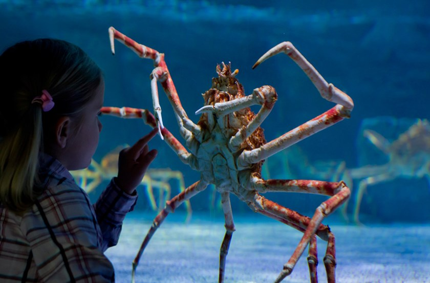 A girl looks at a great spider crab living in a 20,000-liter basin at the Sea Life aquarium in Timmendorfer Strand, northern Germany, on March 30, 2011. Photo credit: AFP