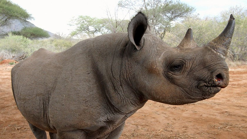 There are an estimated 20,405 white rhinos and 5,055 black rhinos across Africa. The U.S. government considers white rhinos threatened and black rhinos endangered.