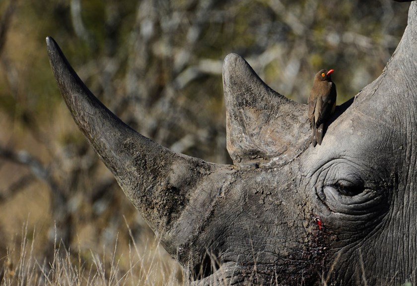 This photo shows a bird sitting on the head of a white rhino taken at Kruger National Park, some 60kms from Nelspruit in South Africa.