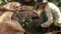 A worker harvests coffee on a farm in the main coffee-growing area of Dak Lak province in central Vietnam. The harvest in Vietnam almost doubled in the past decade while Indonesian production rose about 30 percent, according to the U.S. Department of Agri